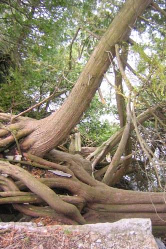 Thuja occidentalis har starka rötter