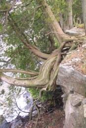 Thuja occidentalis, vildväxande vid Lake Ontario