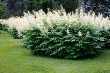 Plymspirea fungerar bra som solitär i gräsmattan.