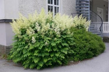 Plymspirea blir lagom hög för att planteras under fönster på hus med källarvåning eller låg sockel.