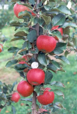 """Scab Resistant Selection RS103-130. Image from """"Organic Production of a New Australian-bred Scab Resistant Apple in Queensland, Australia"""" by Middleton, et. al"""