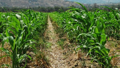 Young maize plants growing in wheat residues. Image by CIMMYT via Flickr.