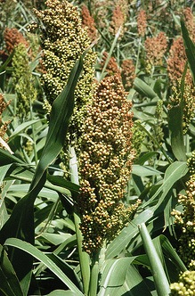 Grain sorghum at the Texas A&M AgriLife Research farm near Bushland. Texas A&M AgriLIfe Research photo by Kay Ledbetter, via Flickr.