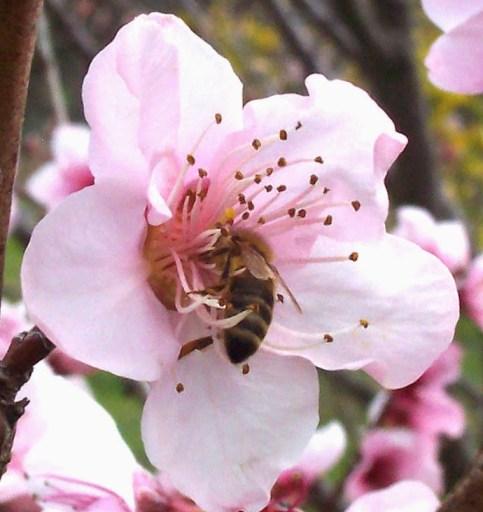 Bee_in_appleflower