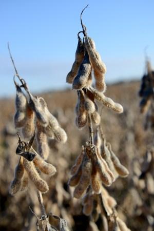 Soybean Seed in Plots