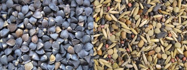 Buckwheat vs Mix seed