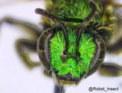 Agapostemon texanus, the bee that Amelia studied. Picture by Amelia Jordan