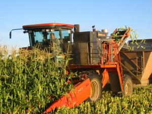 Sweet corn harvester. Photo: A. McGuire
