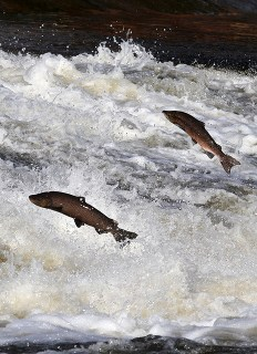 escape of GMO salmon would not result in environmental harm