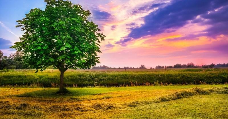 chestnut tree sunrise