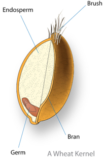 wheat kernel diagram