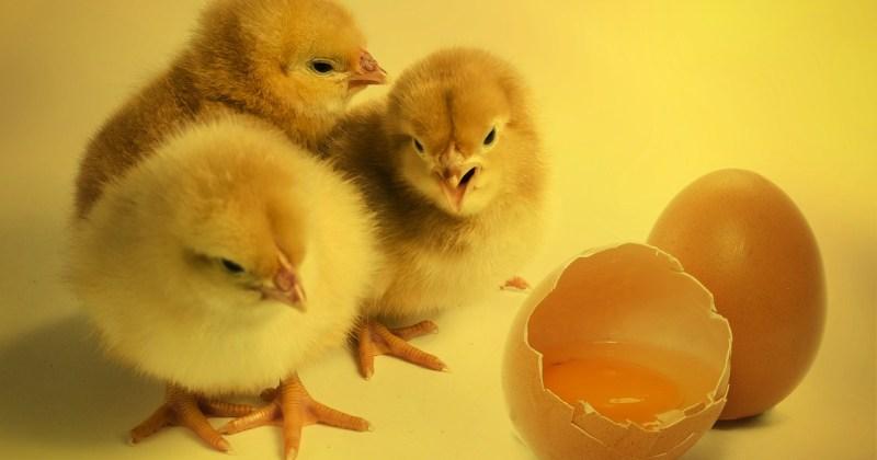 culling male chicks