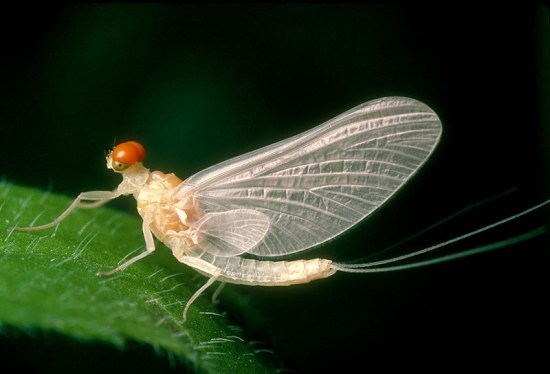 Why Stream Mayflies Can Reproduce Without Males But Remain