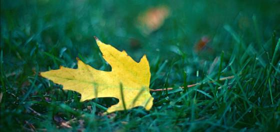 fallen leaf on green grass