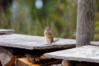 Hello Chipmunk