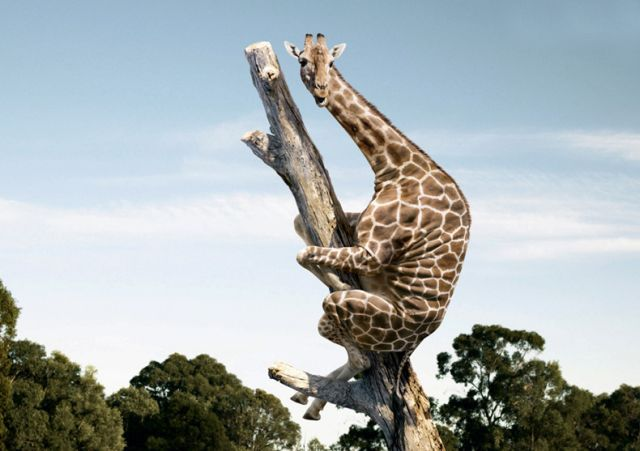 Giraffe on a tree