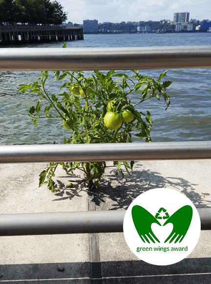 Concrete is no problem for this tomato plant.