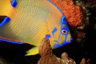 Bright and Colorful Angelfish