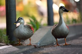 Ducks Out for a Walk