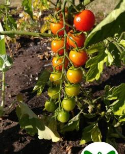 colorful tomatoes on the vine
