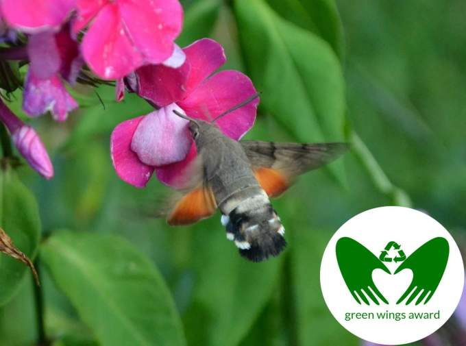 moth as hummingbird