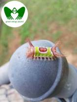 Saddleback Caterpillar  | Green Wings Award