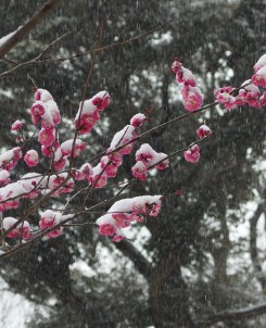 pink flowers covered in snow