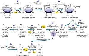 Glycolysis : Feeder Pathway – biogenediary