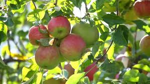 appel apple tree growing frute fruit about us over ons biogenetic