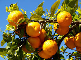 biogenetic sinasappel orange tree growth over ons