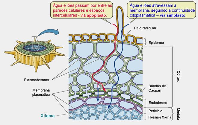 Absorção de água e solutos pela planta