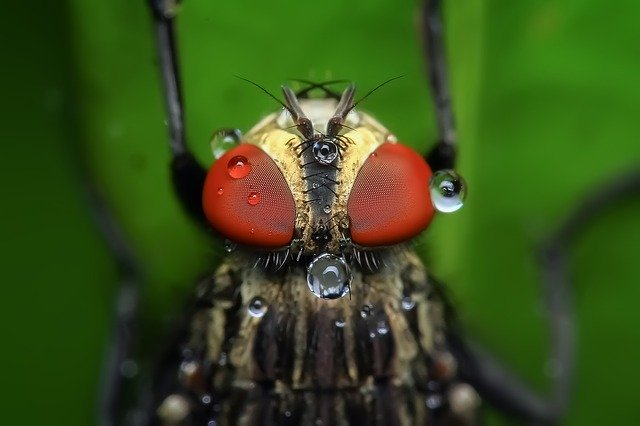 Metamorfosis Lalat: Pengertian dan Prosesnya