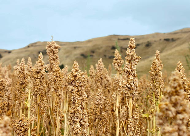 How to Develop Quinoa Plant Kingdoms in the house