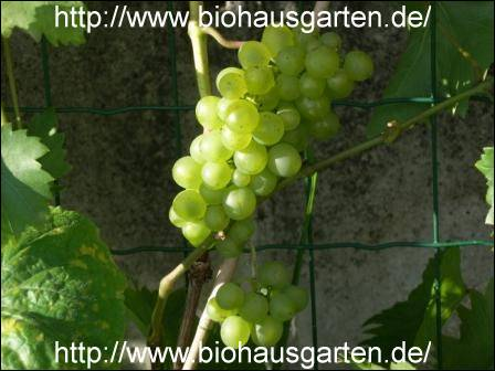 Weintrauben for Weintrauben im garten anbauen
