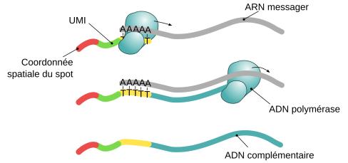 Synthèse de l'ADN complémentaire.
