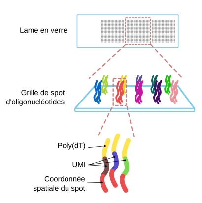 Lame de transcriptomique spatiale