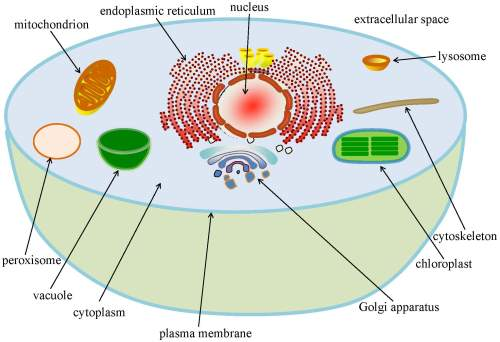 small resolution of major organelles in a typical eukaryotic cell