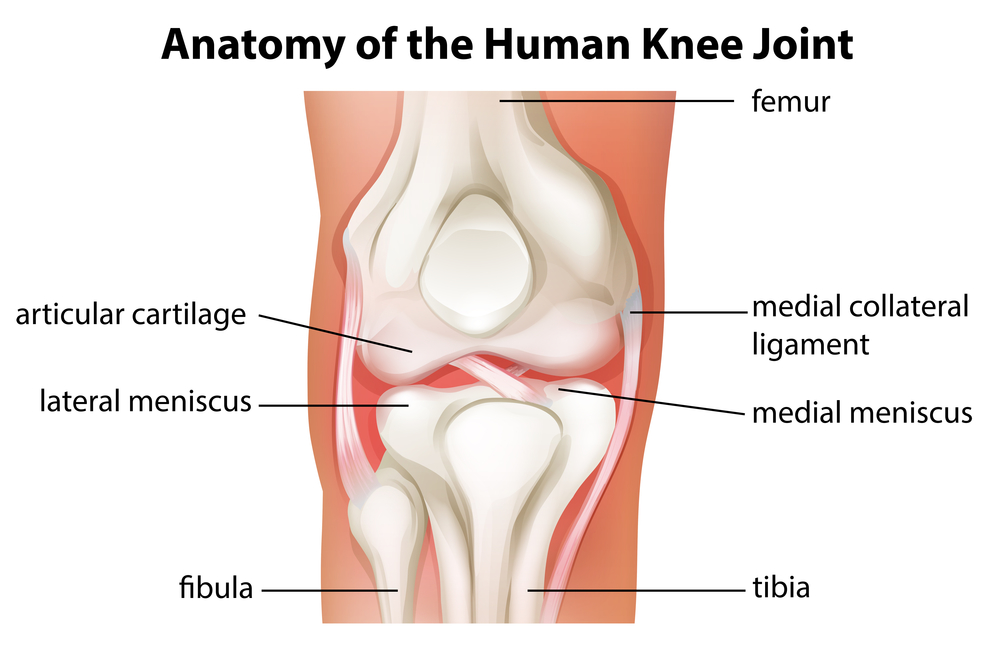 human long bone diagram headlight relay autozone can stem cells treat an acl tear or torn meniscus?