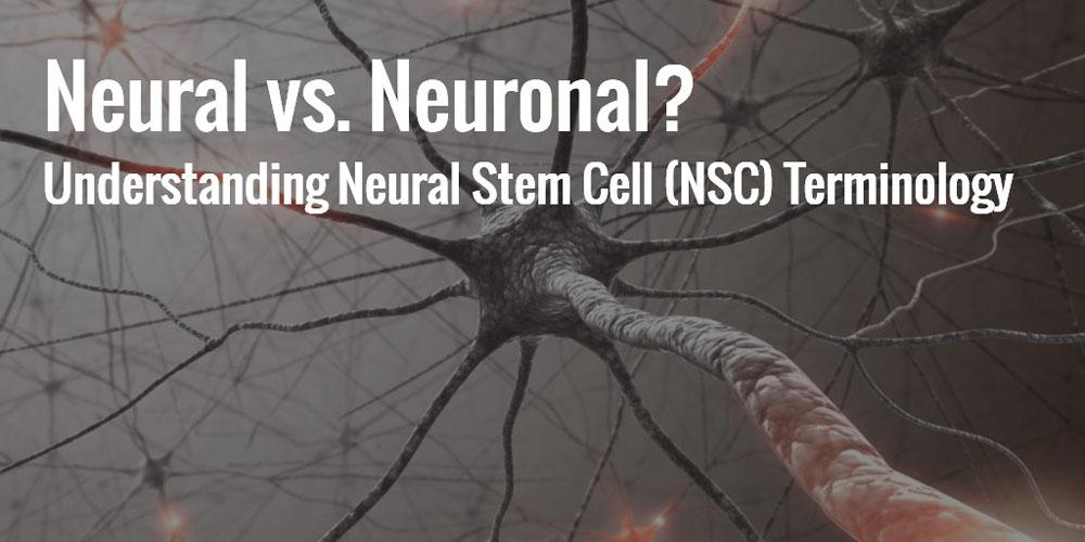 Neural vs. Neuronal? Understanding Neural Stem Cell (NSC) Terms