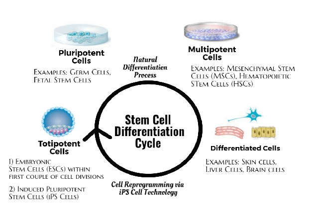 stem cell types   What are Stem Cells, Exactly? [Fact Sheet]