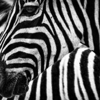 Turing-Mechanismen: Wie das Zebra zu seinen Streifen kommt