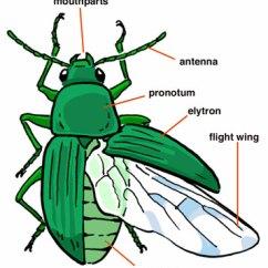 Hornet Anatomy Diagram Haulmark Trailer Wiring Of Insect Diagrams Rh Biokeys Berkeley Edu Insects Body Parts