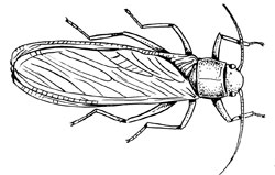 Insects: Stoneflies (Plecoptera)