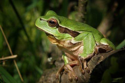 tree-frog-474949_960_720