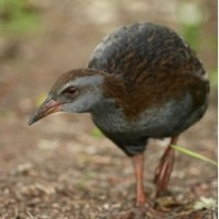 Friend or foe?  The controversial status of native predators in New Zealand restoration projects using weka as a case study species - Asher Cook