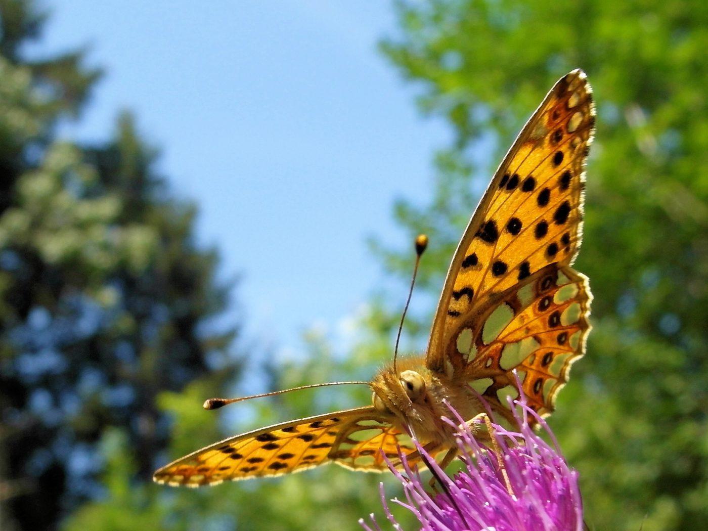 Falter auf Blüte © BA
