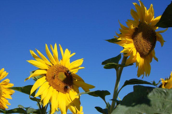 Sonnenblumen blauer Himmel © Bio Austria