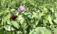 Zwischenfrüchte: Antrieb der Bodenfruchtbarkeit