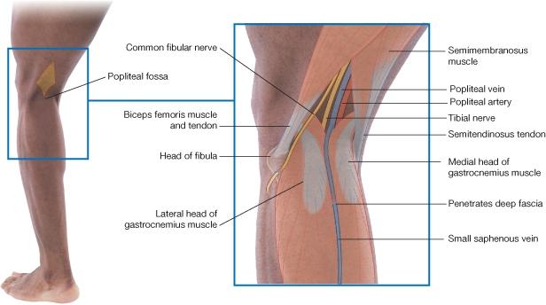 dog lymph nodes diagram 96 nissan maxima radio wiring fosa poplítea   la guía de biología