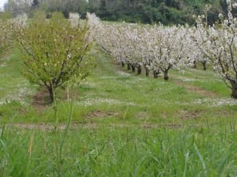 Ciliegi 06-04-2014